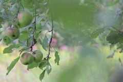 Crab apple tree. Apples from a crab apple tree looking through the leafs giving a soft hazy look stock photo