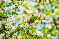 Crab apple tree in bloom. Crab apple tree in full bloom. All the branches are strewed with buds and fresh white and pink flowers. Joy and beauty of spring season royalty free stock photography