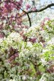 Crab apple tree in bloom. Macro closeup of crab apple tree branch in bloom in spring royalty free stock photo