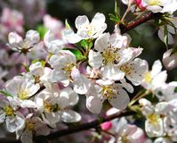 Crab apple tree in blossom. Royalty Free Stock Images