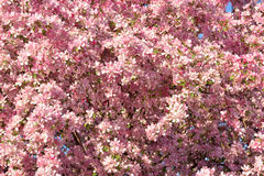 Crab Apple Tree Blossoms Stock Photo