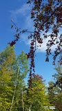 Crab apple tree. With a blue sky and more trees in the background stock image