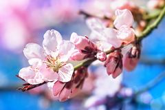 Crab apple tree branch. Pink flowers in small clusters on a crab apple tree branch royalty free stock photo