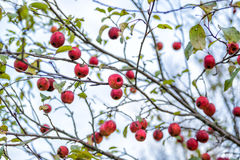 Crab Apple Tree. A close up of crab apples on a crab apple tree royalty free stock photo