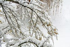 Crab Apple Tree Covered in Snow. Crab apple tree limbs covered in snow with yellow apples in south west Michigan, USA with copy space stock photography
