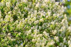 Crab Apple Tree Flowers Stock Photo