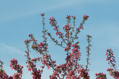 Crab apple tree in full bloom. Branch of a crab apple tree in full bloom against a blue sky royalty free stock photography