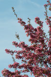 Crab apple tree in full bloom Stock Images