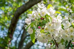 Crab apple tree in full bloom in spring. Closeup of flowering crab apple tree in springtime royalty free stock photos