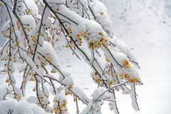 Crab Apple Tree Covered in Snow. Crab apple tree limbs covered in snow with yellow apples in south west Michigan, USA with copy space royalty free stock images