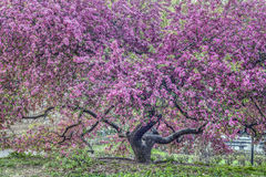 Crab Apple Tree - Malus 'Purple Prince'[ Stock Photo