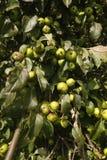 Crab apple tree, Malus sylvestris. Fruit on tree stock image