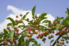 Crab apple tree with many tiny red apples Stock Images