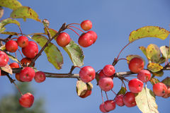Crab apple tree with red apples Stock Photos