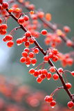 Crab apple tree. Red fruit of crab apple tree royalty free stock photography