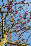 Crab apple tree with red fruits Royalty Free Stock Photography