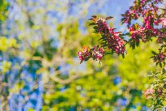 Crab apple tree with red and pink blossoms in city park. Shot at shallow depth of field royalty free stock photo