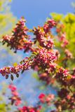 Crab apple tree with red and pink blossoms in city park. Shot at shallow depth of field stock photography