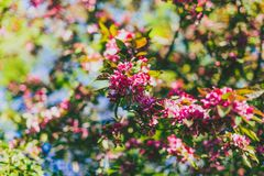 Crab apple tree with red and pink blossoms in city park. Shot at shallow depth of field stock photos