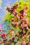 Crab apple tree with red and pink blossoms in city park. Shot at shallow depth of field stock photo