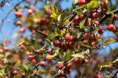 Crab Apple tree in Sighisoara Transylvania Romania. Europe stock image