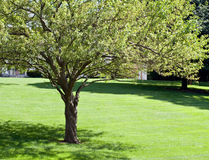 Crab Apple Tree in Summer. With lawn stock images