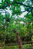 Crab apple trees in castle garden of Veitshoechheim, Germany Stock Photography
