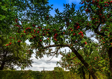 Crab apple trees in castle garden of Veitshoechheim, Germany Stock Images