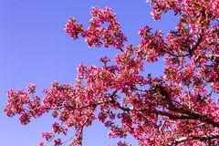 Crab Apple Trees in Spring Bloom Stock Images