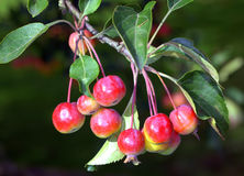 Crab Apples. Ripe colourful crab apples on a tree Royalty Free Stock Photos