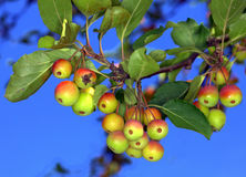 Crab Apples. Ripe colourful crab apples on a tree Royalty Free Stock Photography
