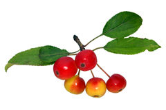 Crab Apples Stock Photos