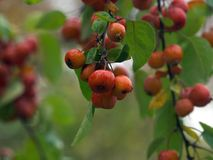 Crab Apples Stock Photography