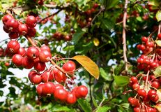 Crab apples Royalty Free Stock Images