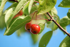 Crab apples Royalty Free Stock Photography