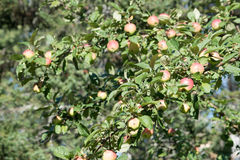Crab apples on a apple tree stock photo