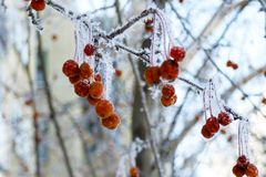 Crab apples on branches in the winter royalty free stock photography
