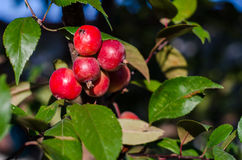 Crab apples. Fruits in the autumn Stock Image