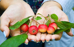 Crab apples Stock Image