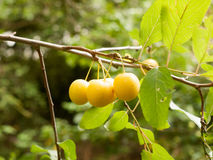 Crab Apples Growing on a Tree in the Wild Stock Photo