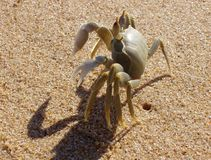 Crab on beach Royalty Free Stock Photo