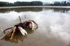 Crab at beach Royalty Free Stock Photo