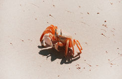 Crab on beach. A Crab on a sandy beach Stock Photography