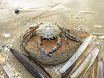 Crab on the beach. Crab on the North Sea Beach in Holland Stock Image