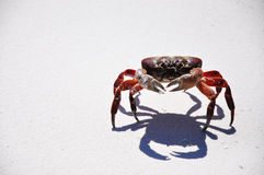 Crab on the beach Royalty Free Stock Photography