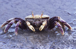 Crab on the beach. Crab early in the morning on the beach - Cadiz - Spain Royalty Free Stock Photos