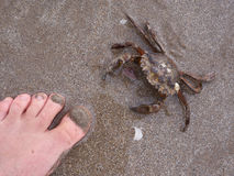 Crab at the beach. Crab approaching a naked foot at the beach Royalty Free Stock Photos
