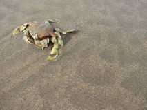 Crab in beach background Stock Photography
