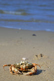 Crab on a beach background Royalty Free Stock Photo