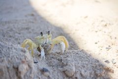 Crab at the beach. Crab  carrying eggs at a sand beach in Brazil Royalty Free Stock Photography